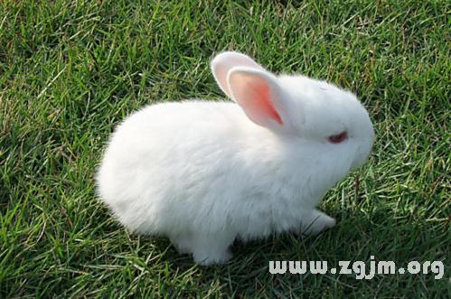 梦见白色兔子
