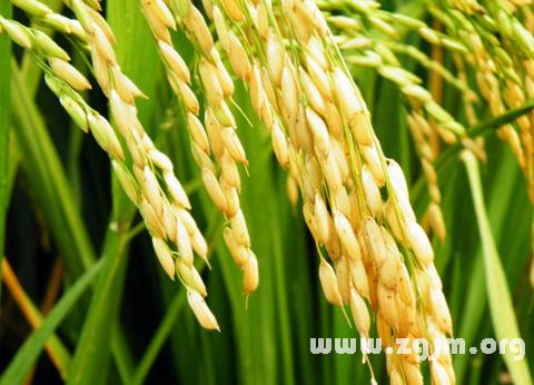 梦见禾米 谷糠 稻麦