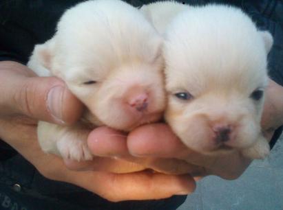 梦见两只小白狗