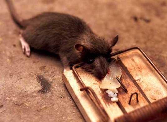 梦见老鼠死了是什么意思