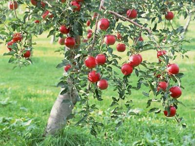 孕妇梦见枣树是什么意思