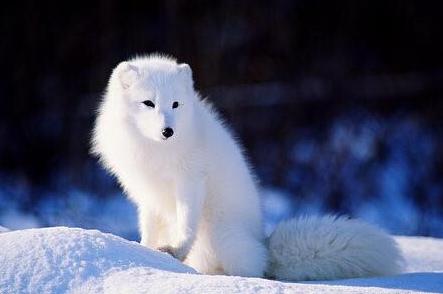 梦见白色的狐狸