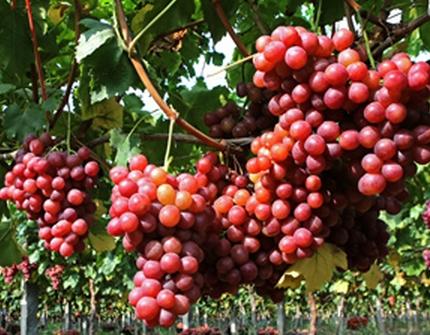 梦见葡萄树上结满葡萄