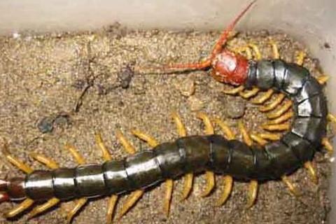 梦见蜈蚣咬了自己和孩子是什么原因