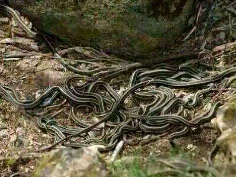好多蛇挡道