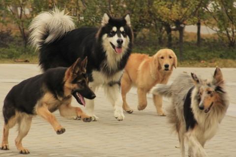 梦见狗梦见一群狗追