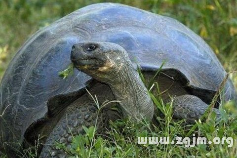 梦到大海龟是什么意思