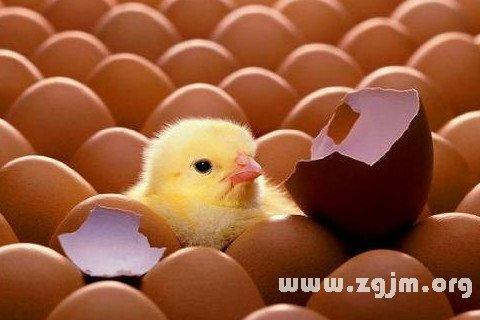 梦见捡鸡蛋变成了小鸡