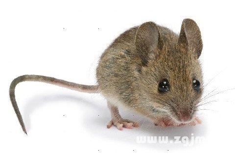 梦见墙里有老鼠