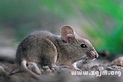 梦见踩死一只小老鼠