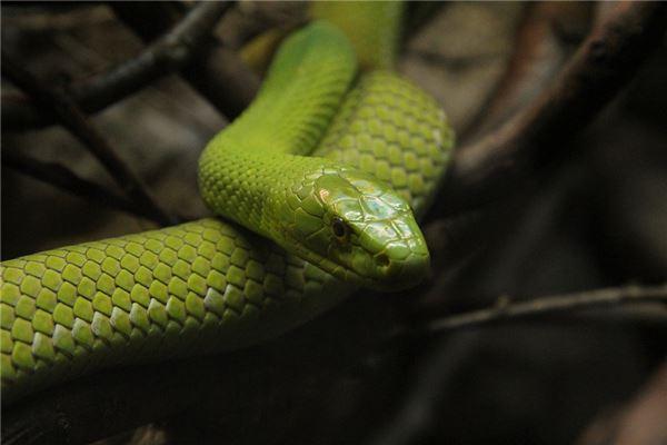 梦见很多很大的蛇