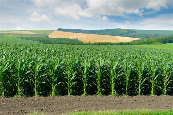 梦见一片玉米地