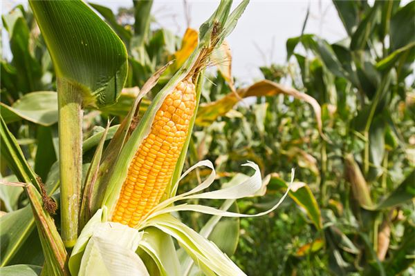 梦见大片玉米地