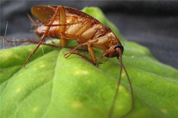 梦见身上有蟑螂