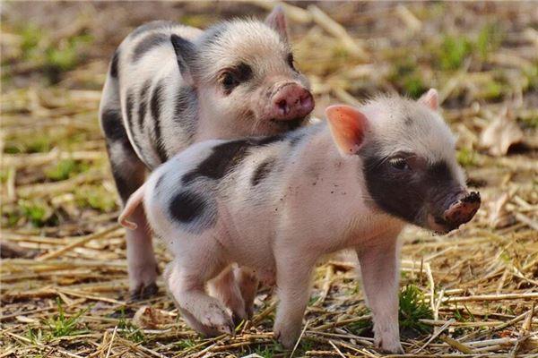 梦见猪跑来跑去