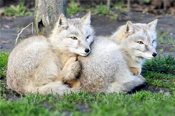 梦见两只白狐狸