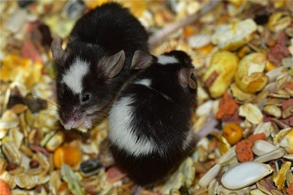 梦见刚出生的老鼠
