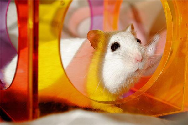 梦见打死白老鼠