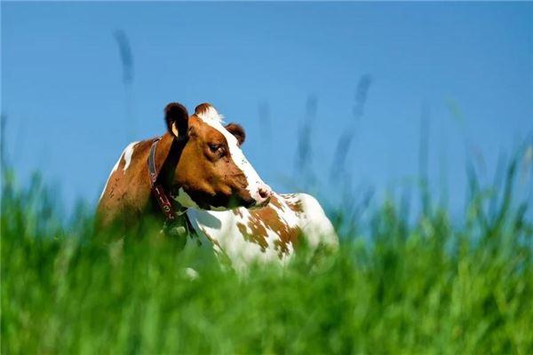 梦见牛在天上飞