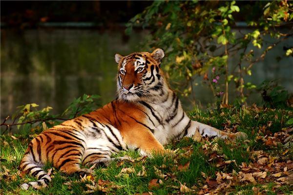 梦见家里有老虎