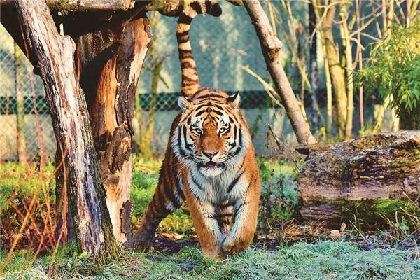 梦见老虎咬自己