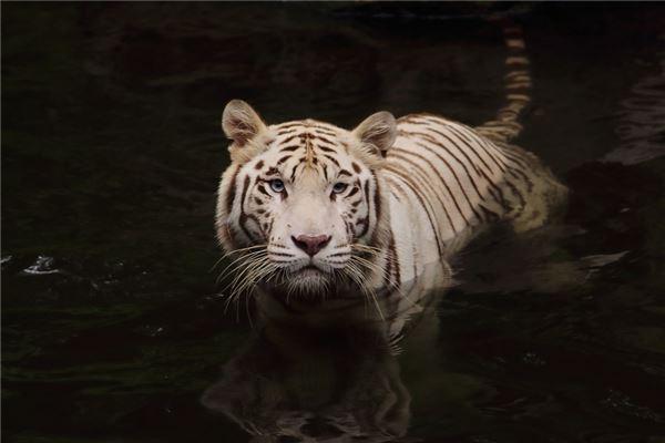 梦见老虎咬别人