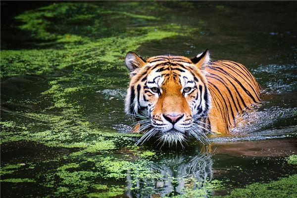 梦见老虎在水里