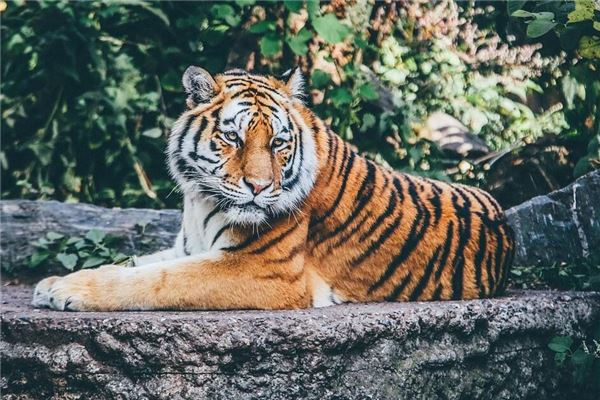 梦见与老虎搏斗