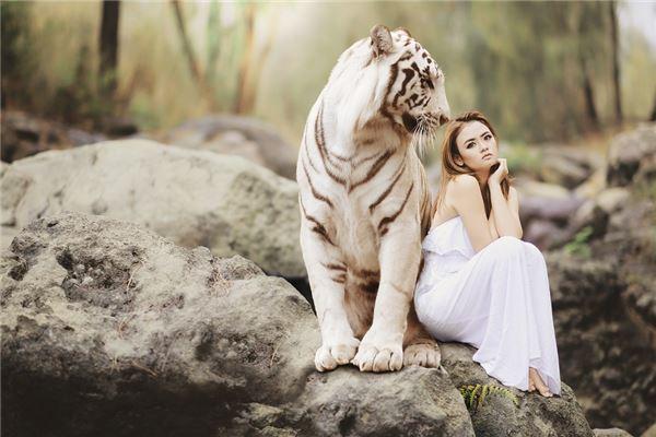 梦见老虎很温顺