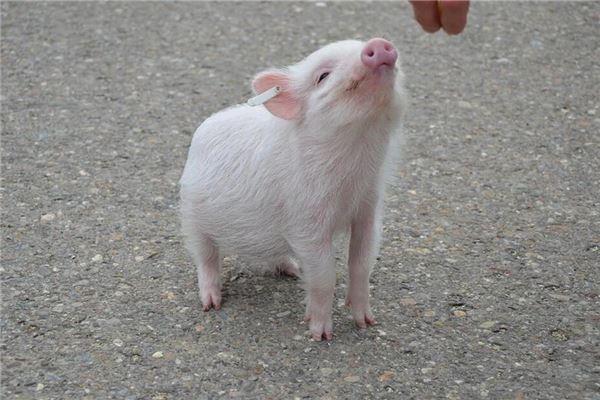 梦见会说话的猪