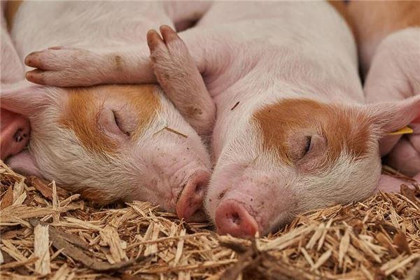 梦见家里猪死了