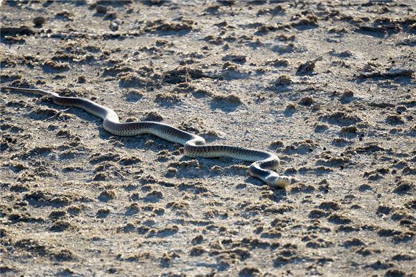 梦见蛇没有尾巴
