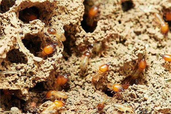梦见白蚁 白蚂蚁