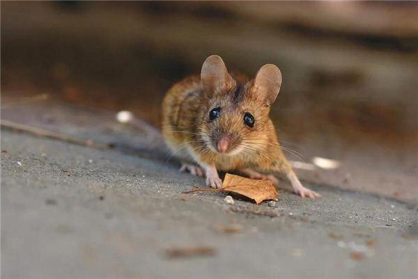 梦见老鼠 耗子