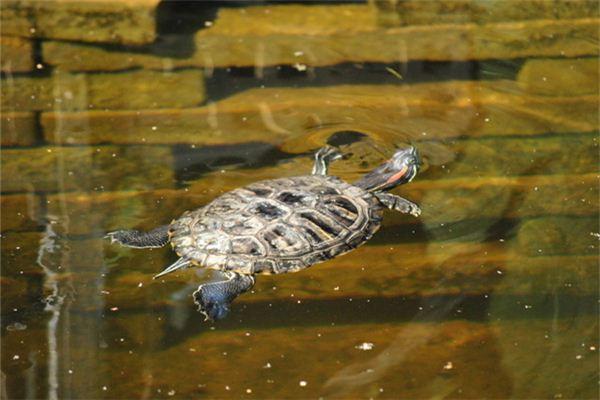 梦见乌龟在水里游