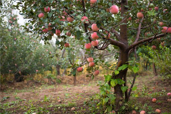 梦见很多树结出红色的果实