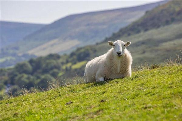 梦见羊倒在地上