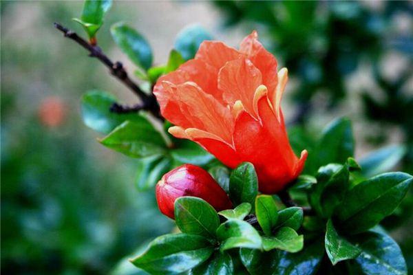 梦见石榴树开花