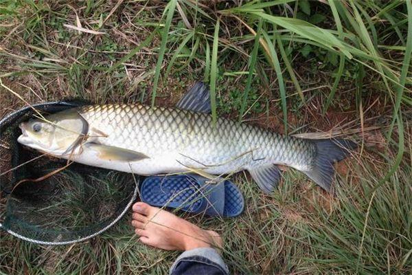 梦见女人在抓鱼