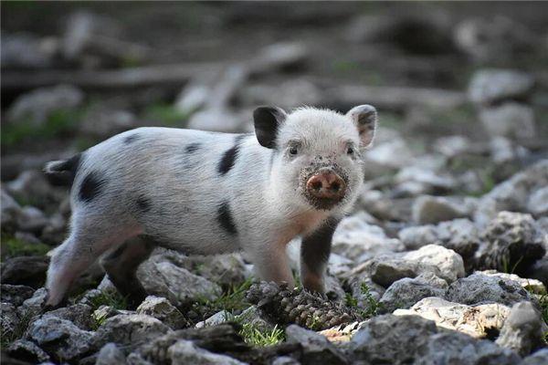 梦见猪咬屁股