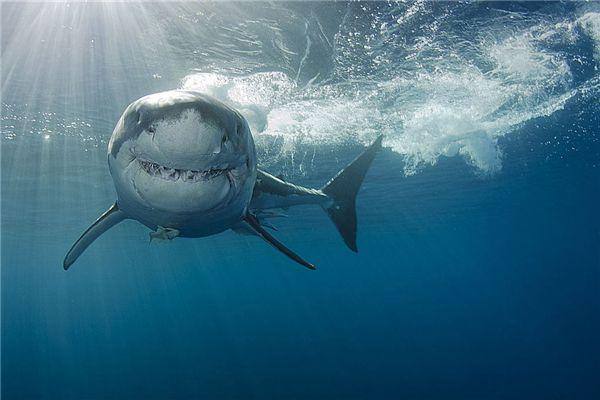 梦见鲨鱼追人