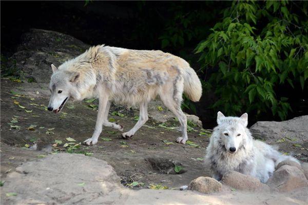 梦见家里有狼