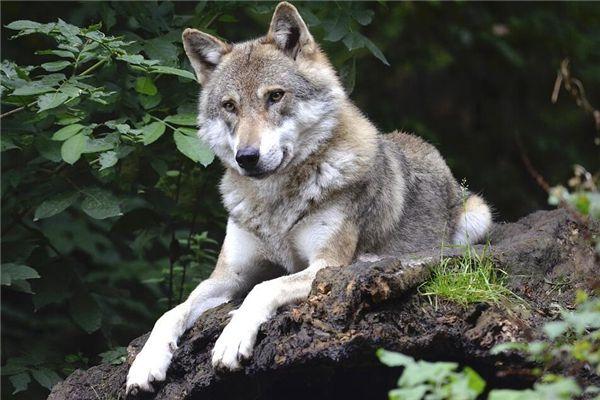 梦见狼要吃我