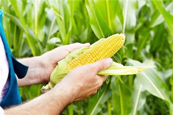 梦见剥玉米