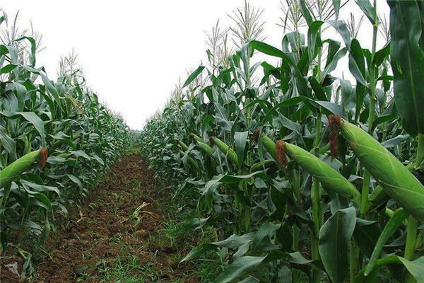 梦见玉米丰收