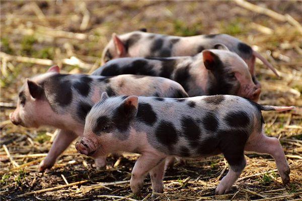 梦见给猪喂食