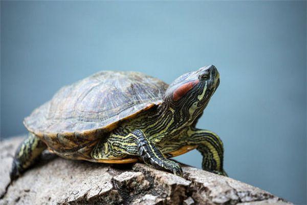 梦见骑乌龟