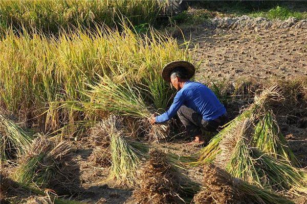 梦见收割水稻