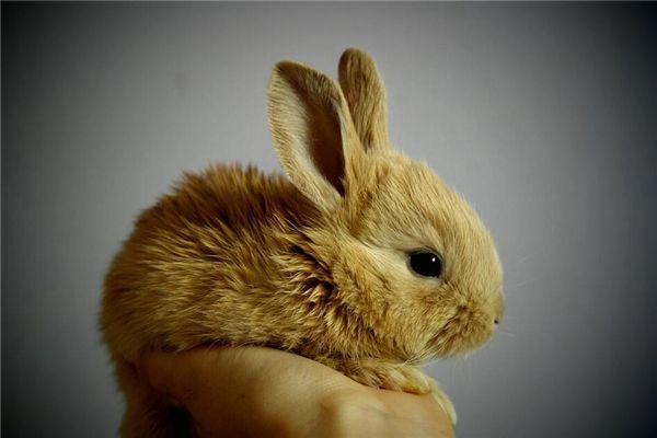 梦见抱兔子