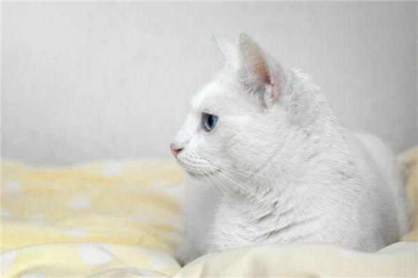 梦见抱白猫